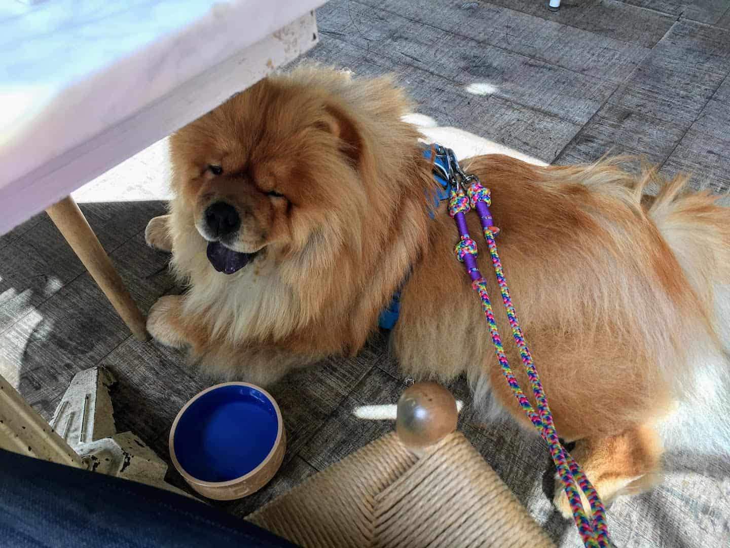 My Dog Friendly London Richmond Clover the Chow Chow 16