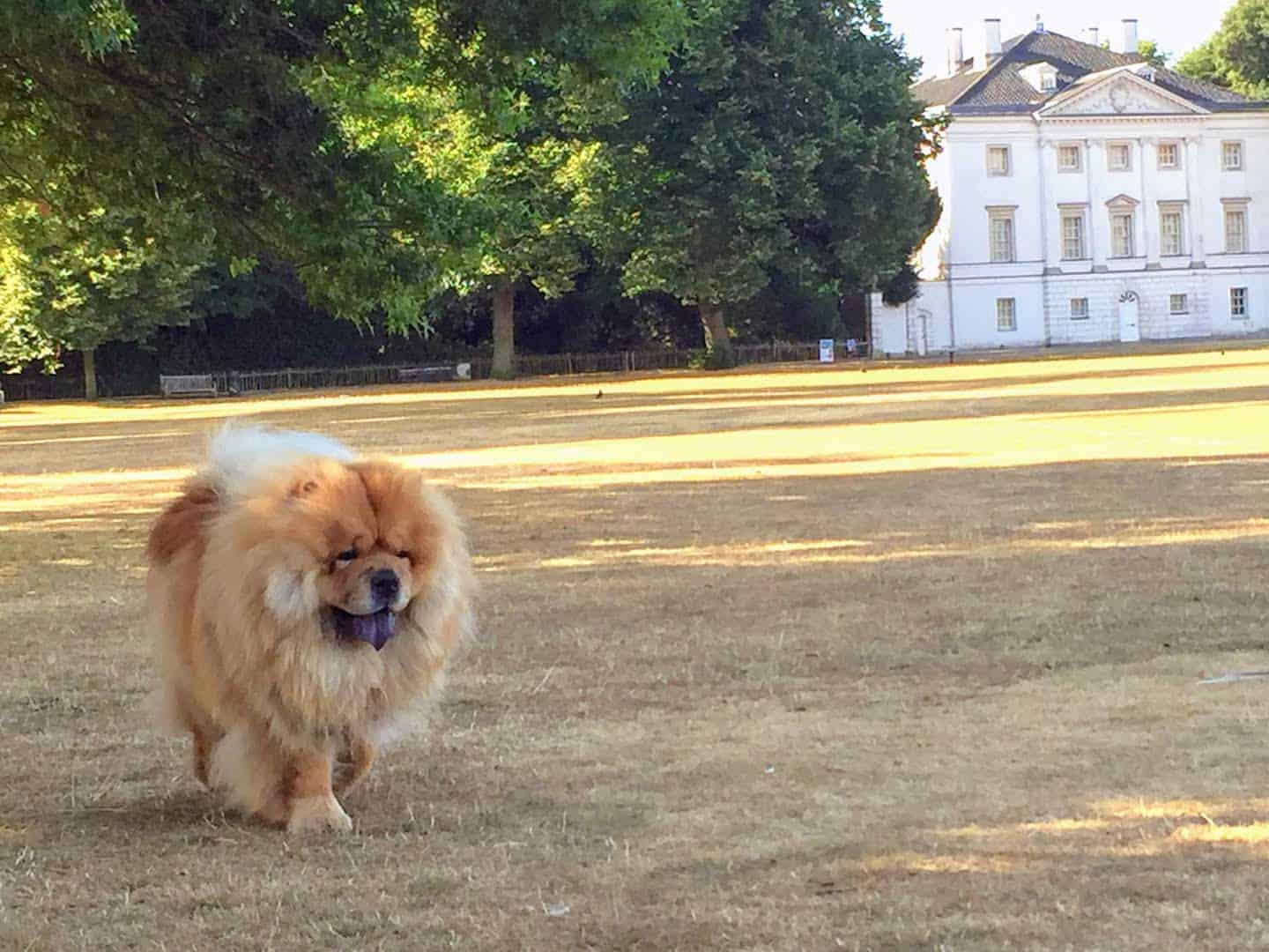 My Dog Friendly London Richmond Clover the Chow Chow 2
