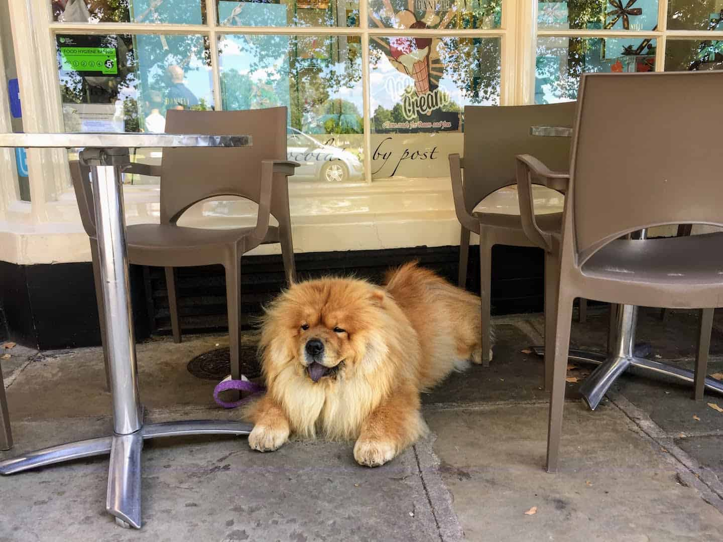 My Dog Friendly London Richmond Clover the Chow Chow 6