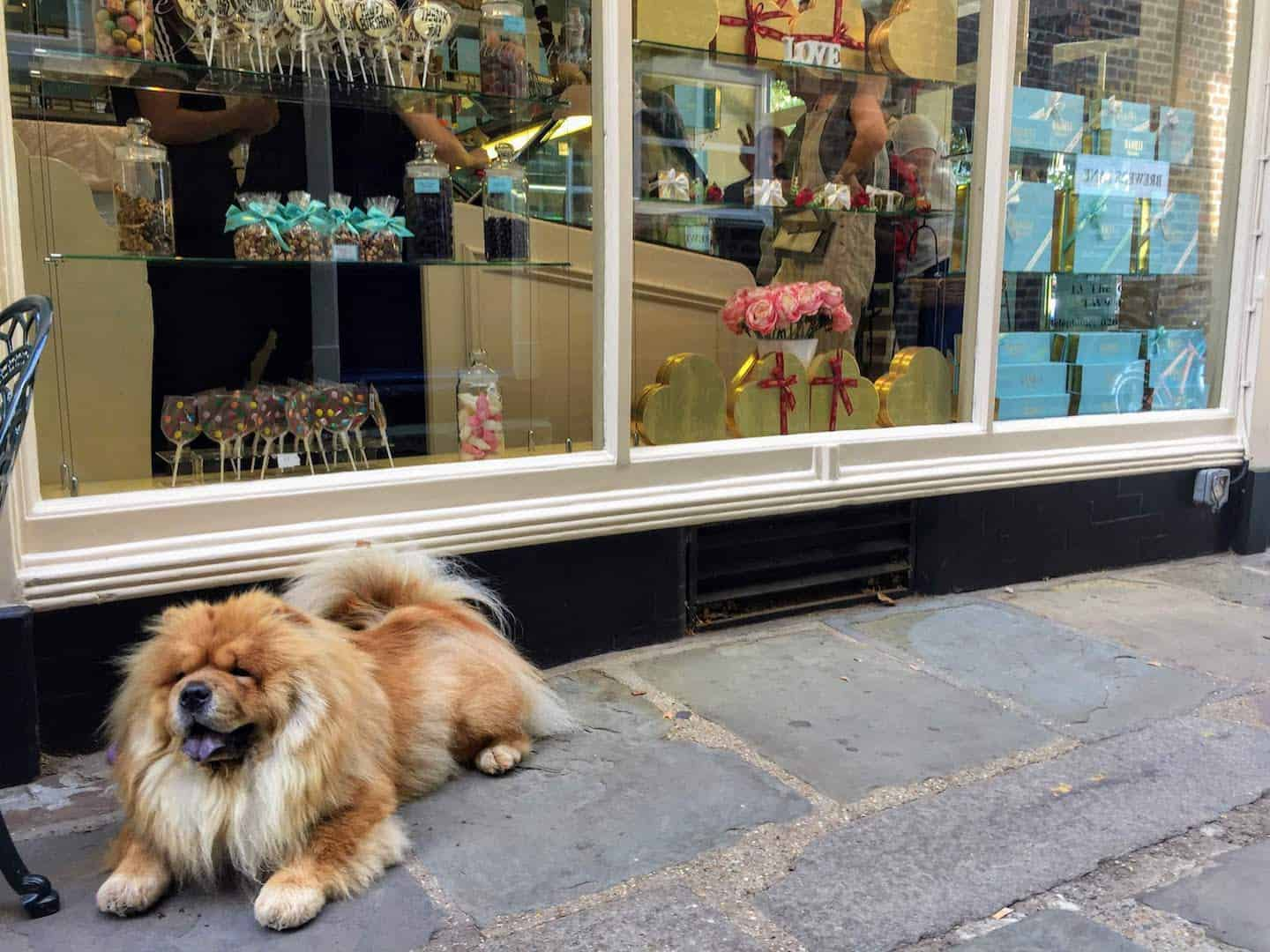 My Dog Friendly London Richmond Clover the Chow Chow 7