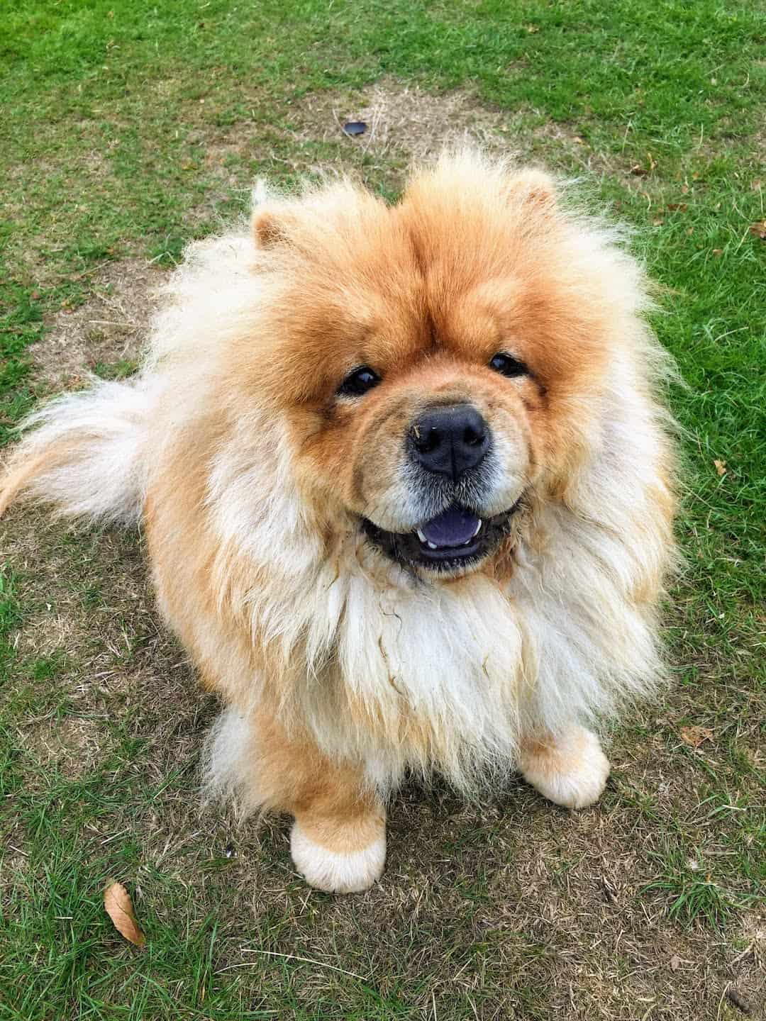My Dog Friendly London Richmond Clover the Chow Chow 8