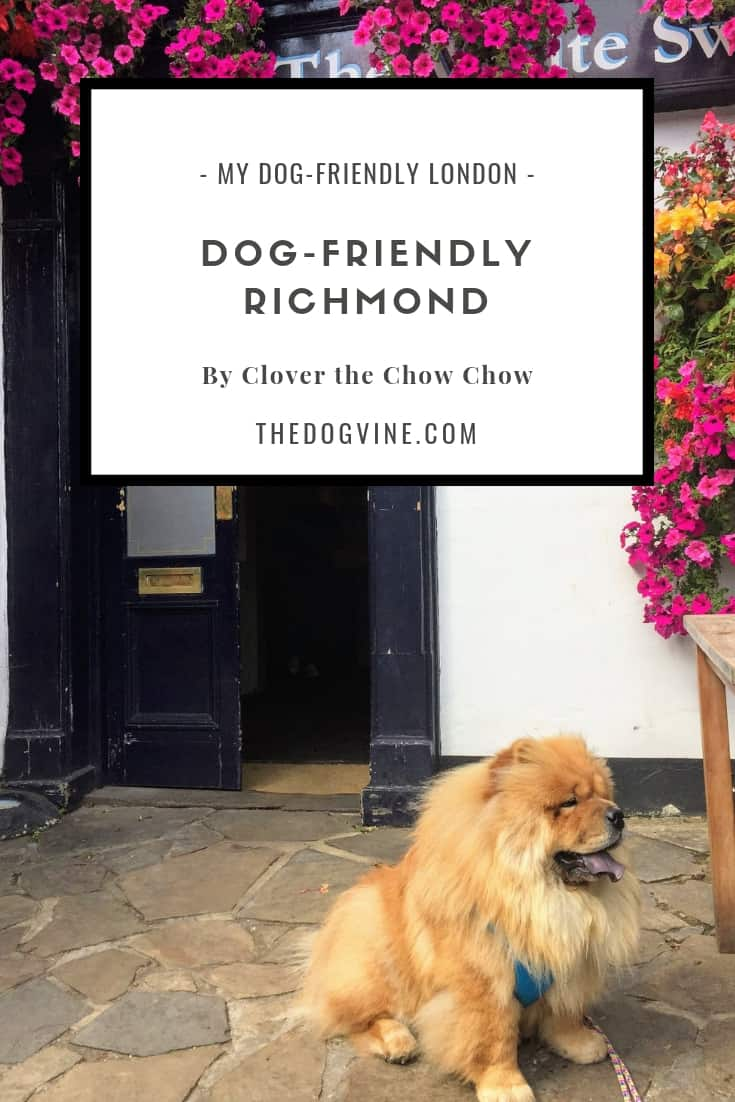 My Dog Friendly London Richmond - Clover the Chow Chow