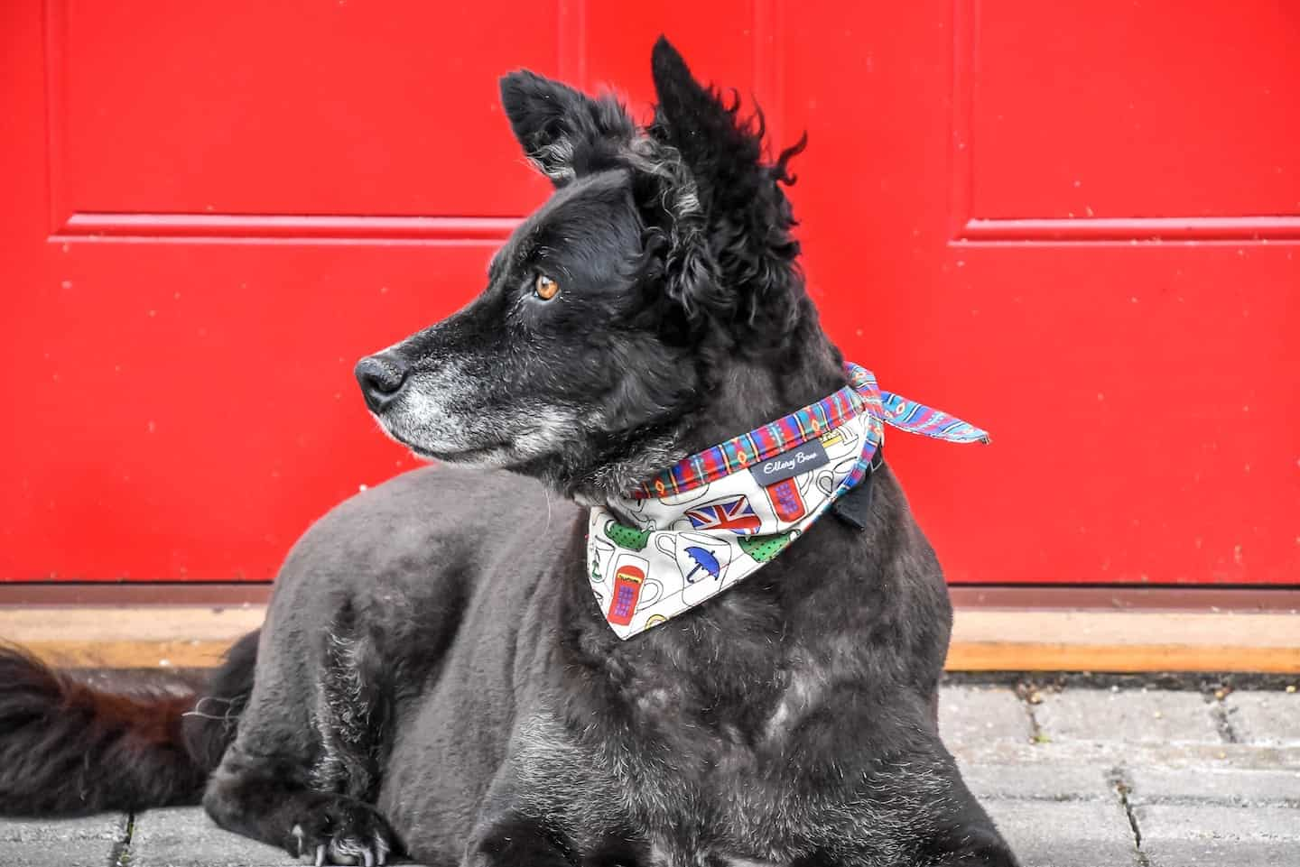 London Dog Events On This Week 15 - 18 November - Belinha in Ellery Bow Bandana