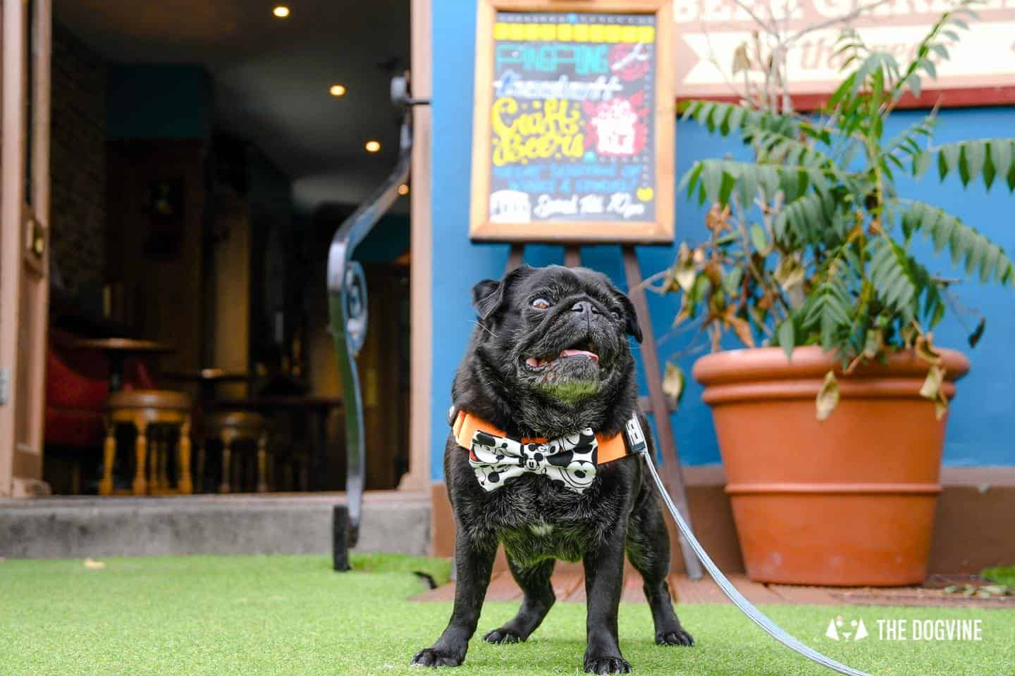 My Dog-friendly London Clapham & Battersea By Hemingway The Pug The Clapham Tap 9