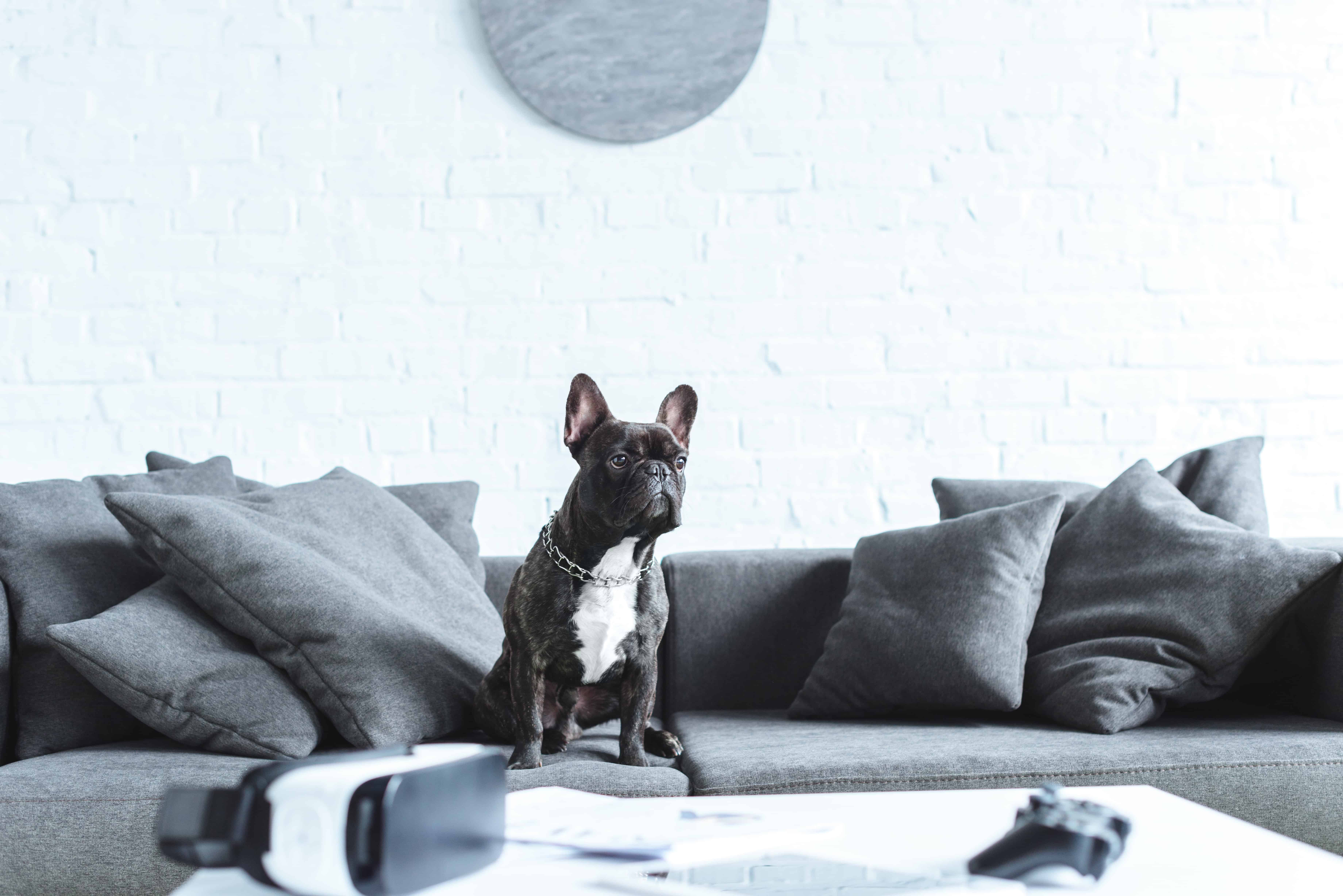 The Ultimate Guide to Renting With a Dog In London - Frenchie on the sofa