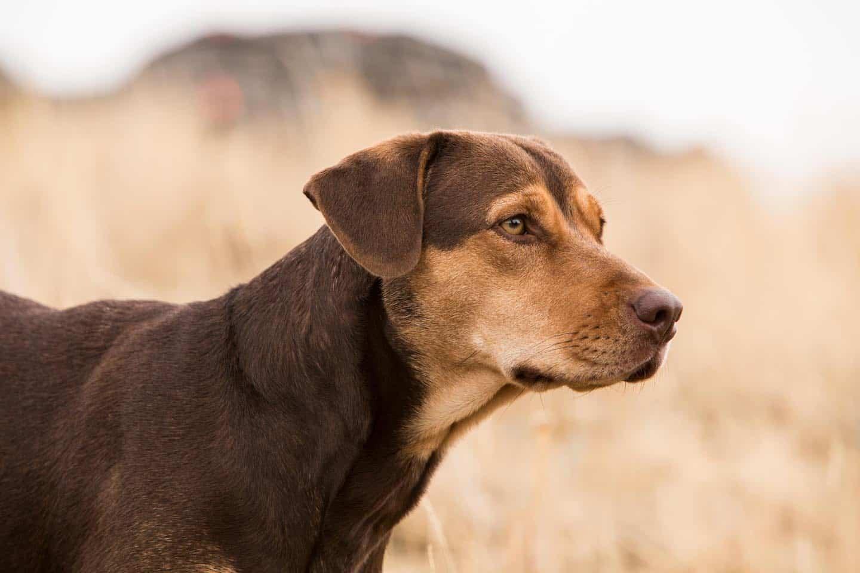 A Dog's Way Home - Bella