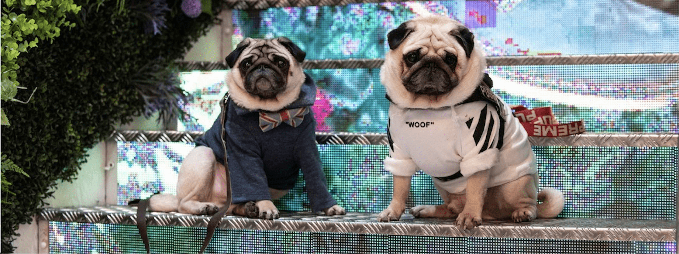 M X London Dog Week Fashion Brunch - Fashion Pugs
