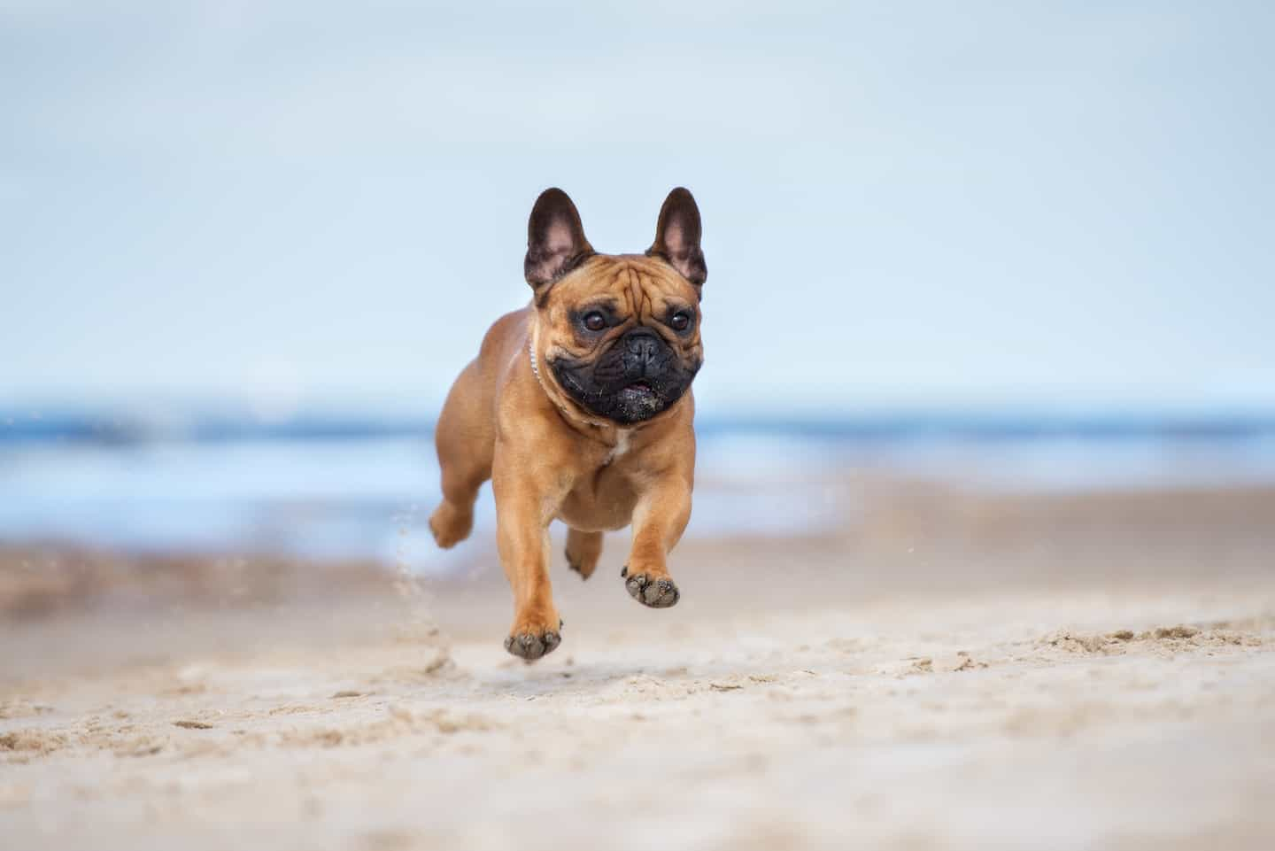 7 Dog-Friendly Things to Do In The New Forest - French Bulldog on the beach