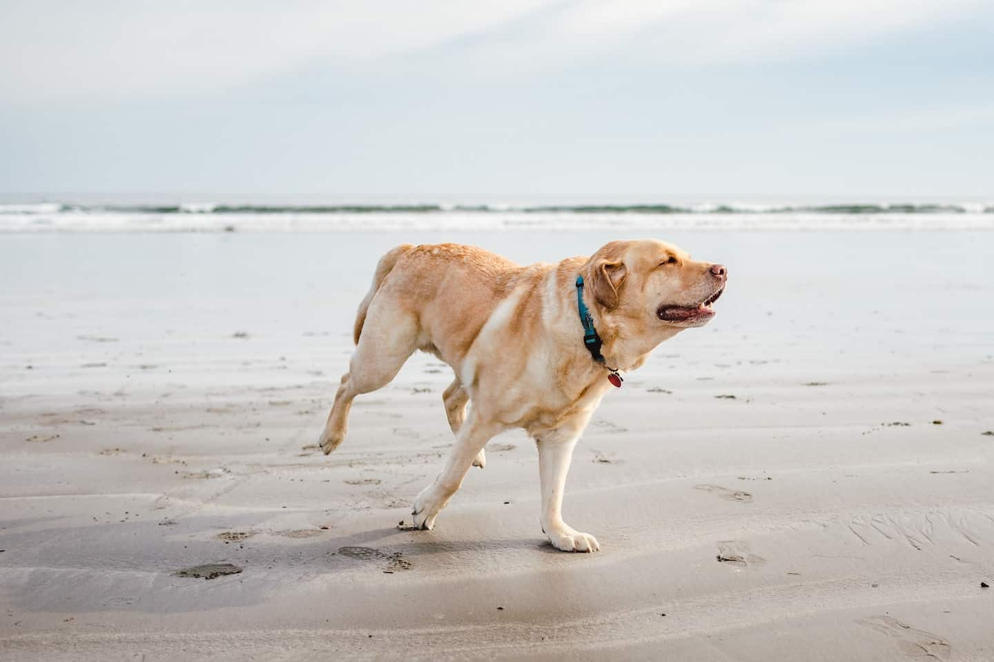 7 Dog-Friendly Things to Do In The New Forest - Labrador on the beach