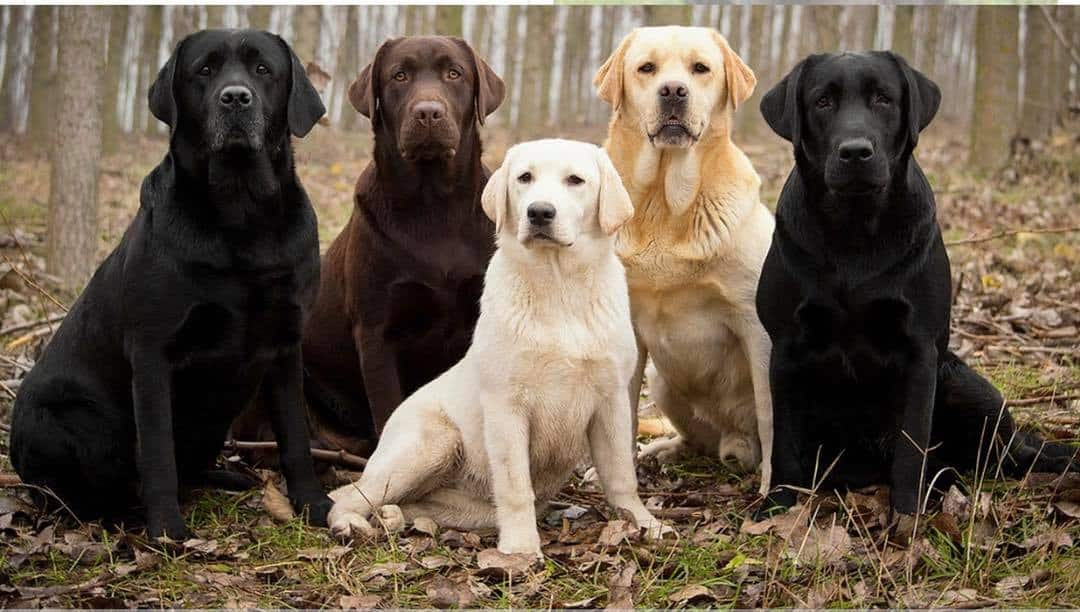 London Labrador Meetup