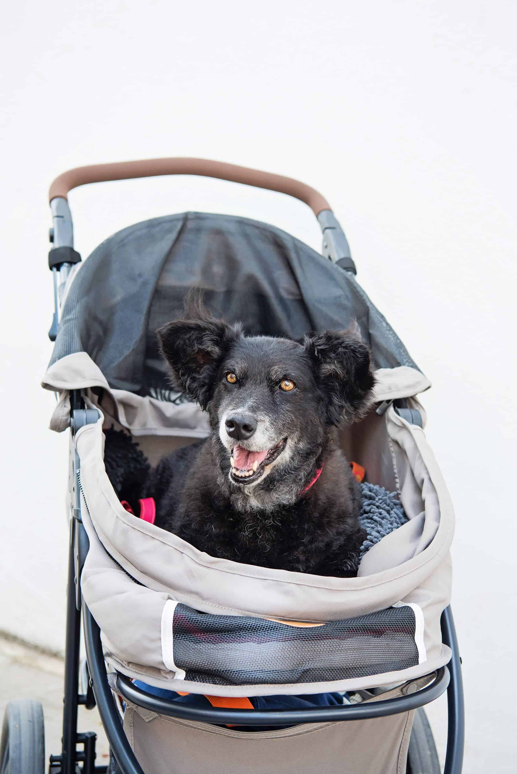What to Take to a Dog Festival Checklist - Dog Buggy - Photo by Emma O'Brien