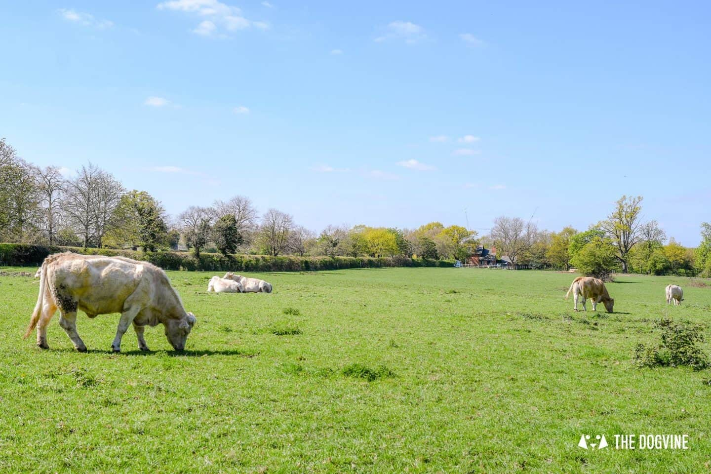 Osterley Park and House - Charolais cattle grazing