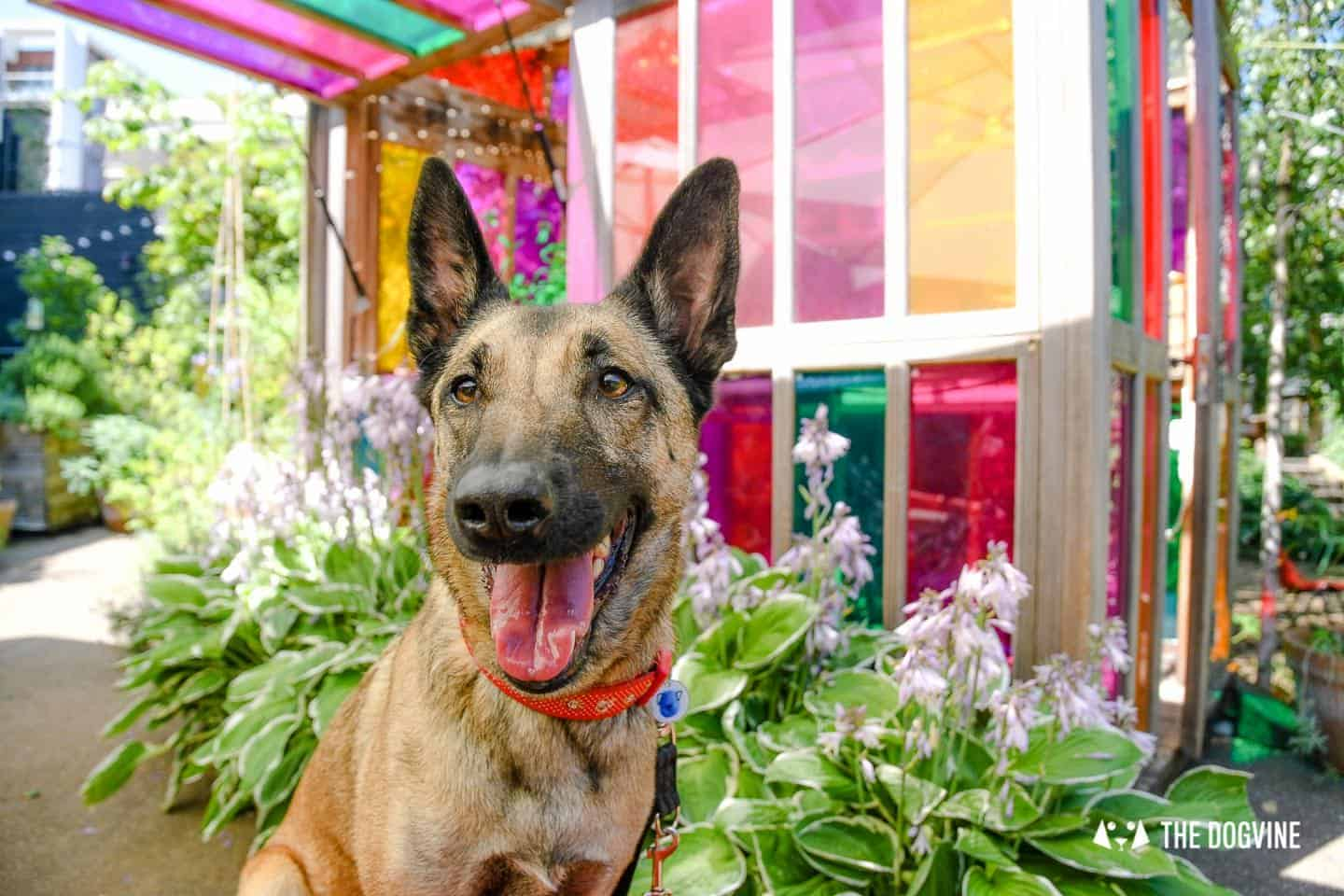London Dog Events and Things to Do June 2019 - Lyra the Malinois