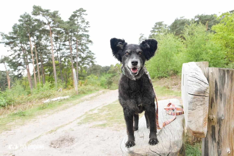 Oxshott Woods Dog Walks - Oxshott Heath and Woods 19
