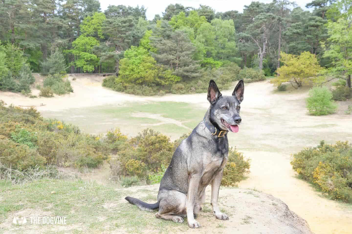 Oxshott Woods Dog Walks - Oxshott Heath and Woods Sandpit 1