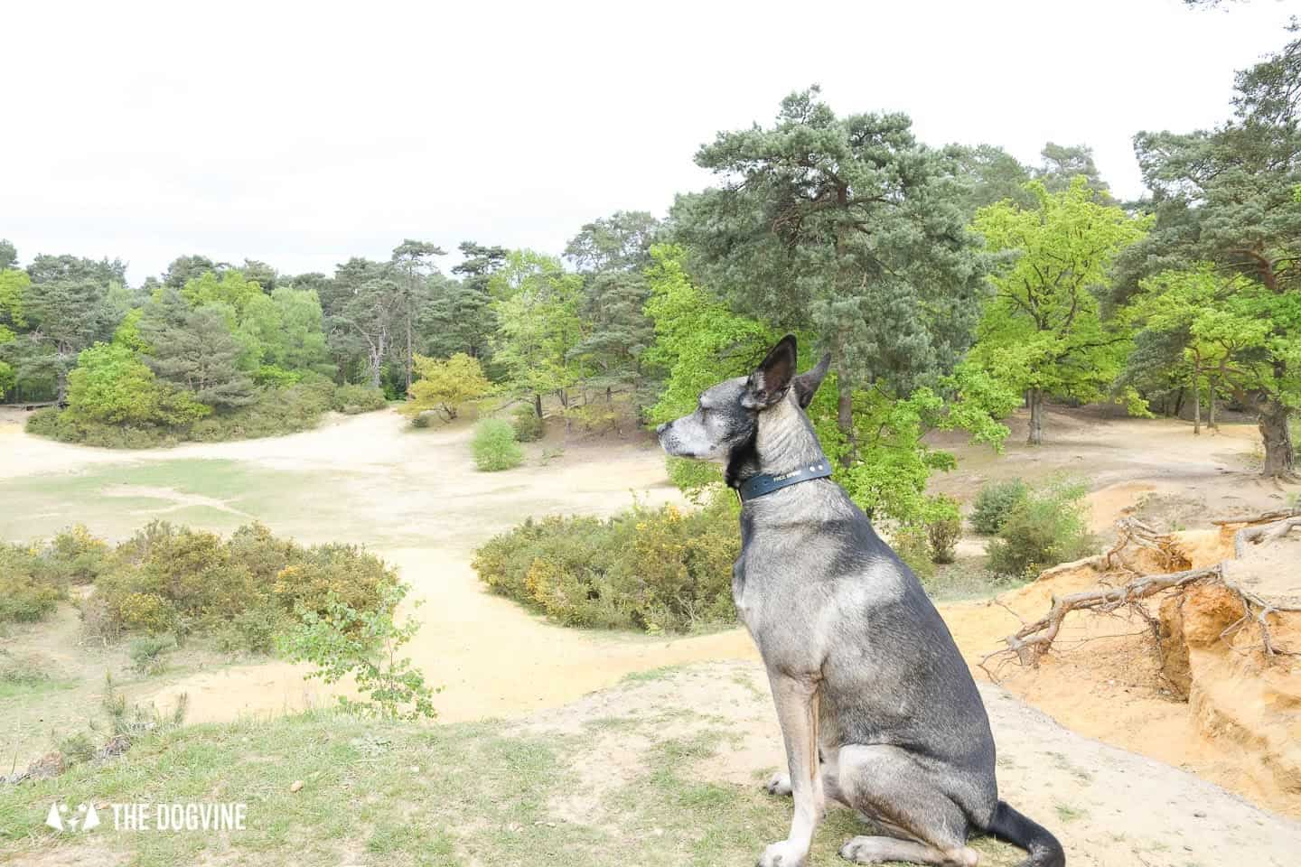 Oxshott Woods Dog Walks - Oxshott Heath and Woods Sandpit 3