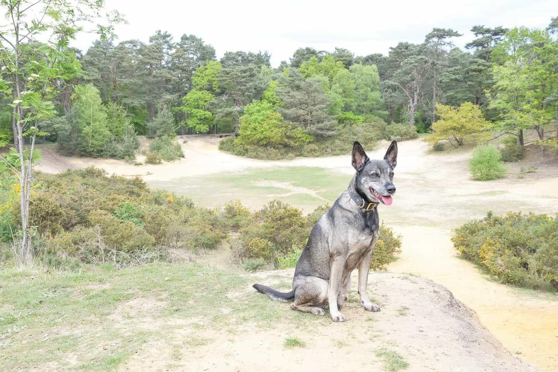 Oxshott Woods Dog Walks and A Giant Sandpit Surprise
