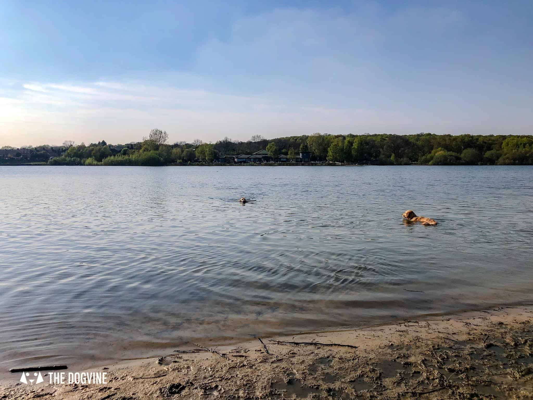 Ruislip Lido Dog Beach in London- Two Dogs Swimming
