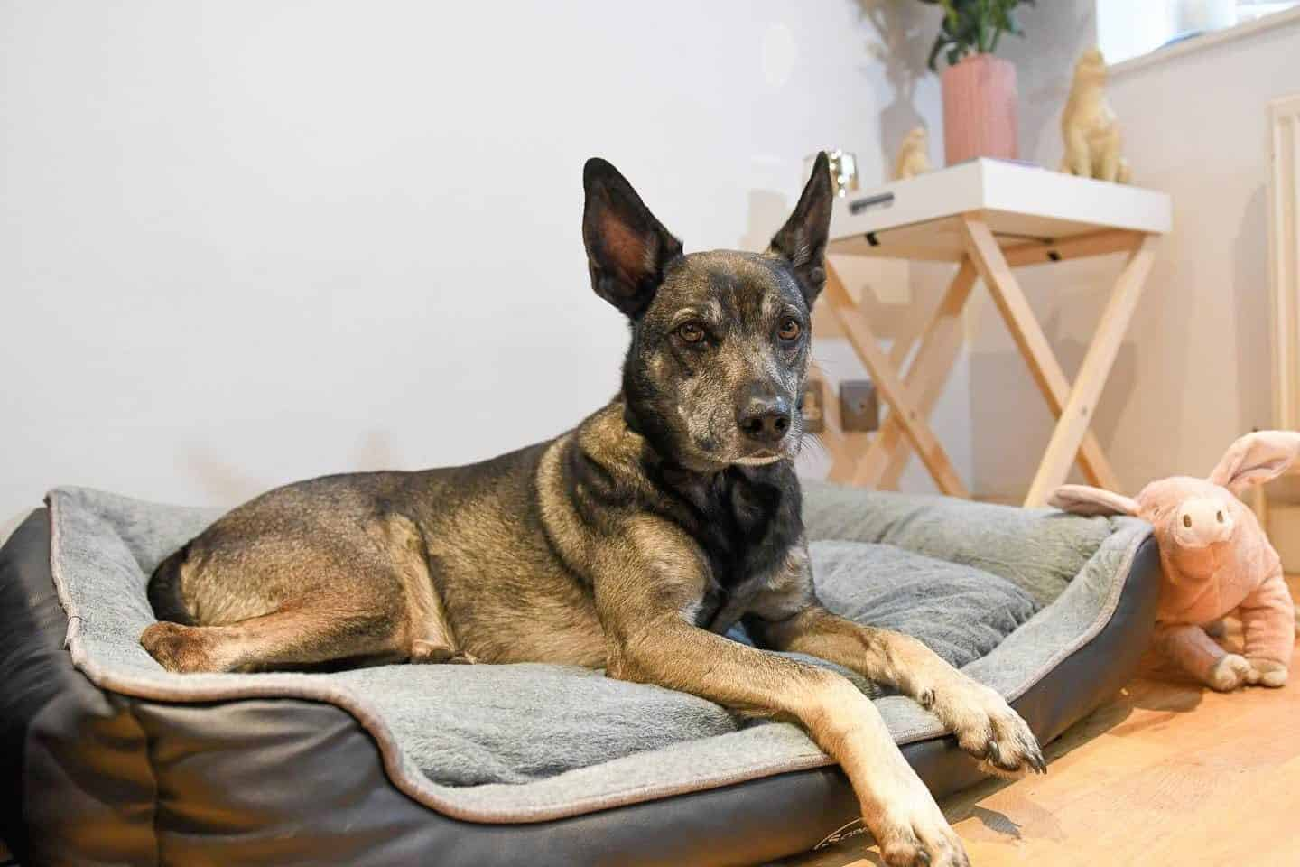 7 Reasons Why It's A Paws Up For The Scruffs Orthopaedic Dog Bed