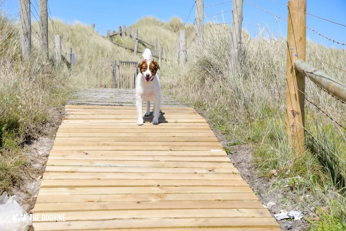 The Best Dog-Friendly Beaches in West Sussex -Littlehampton West Beach - Dog on the wooden walkway