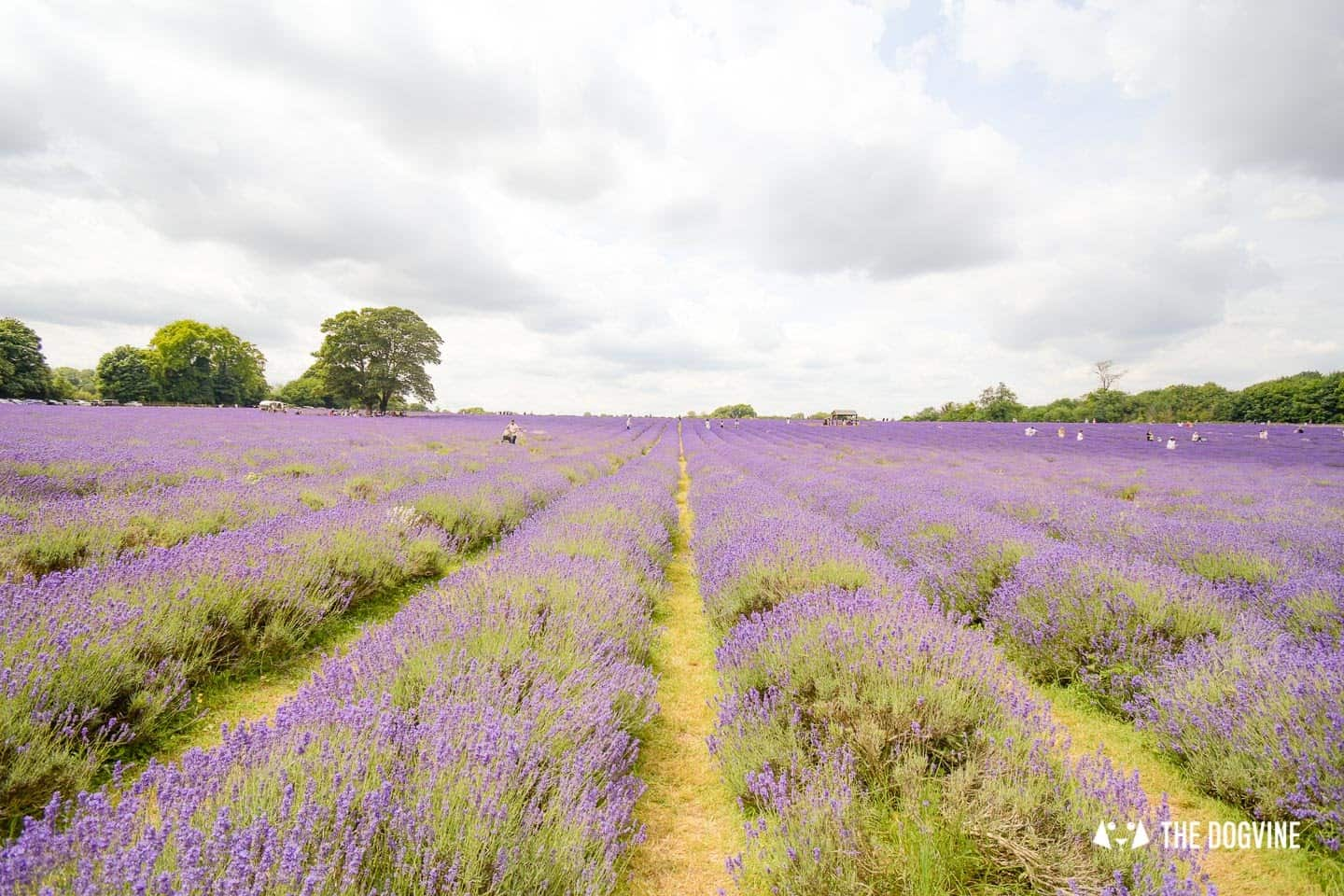 The Dog-friendly Mayfield Lavender Farm