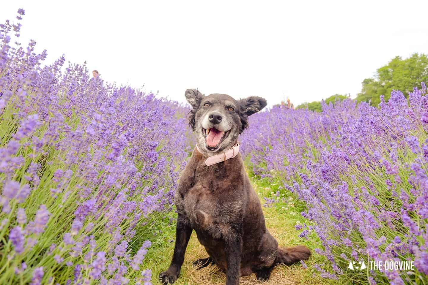 Dog-friendly Mayfield Lavender Farm - Belinha in the Lavender