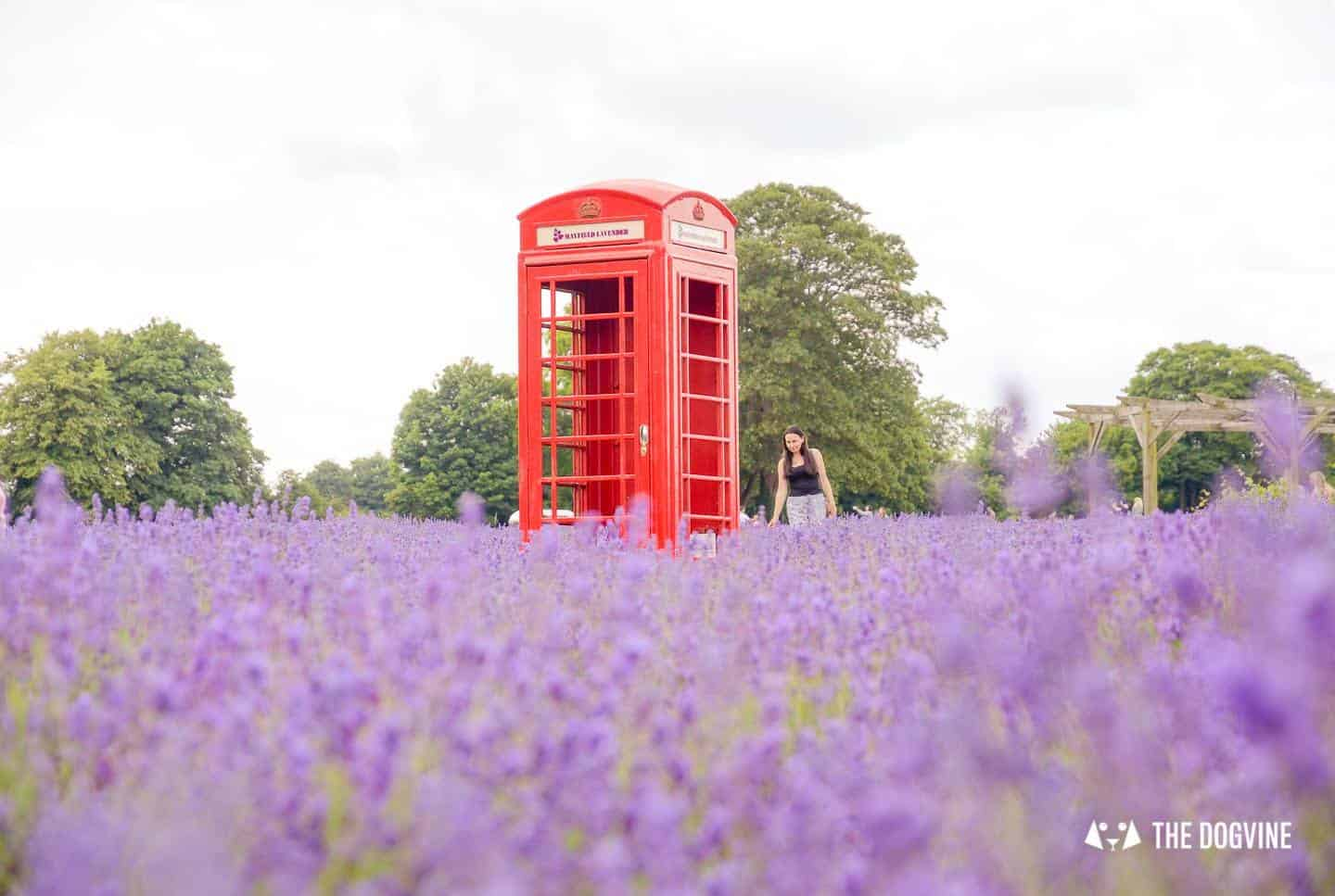 Dog-friendly Mayfield Lavender Farm Phone Box in the Lavender Field