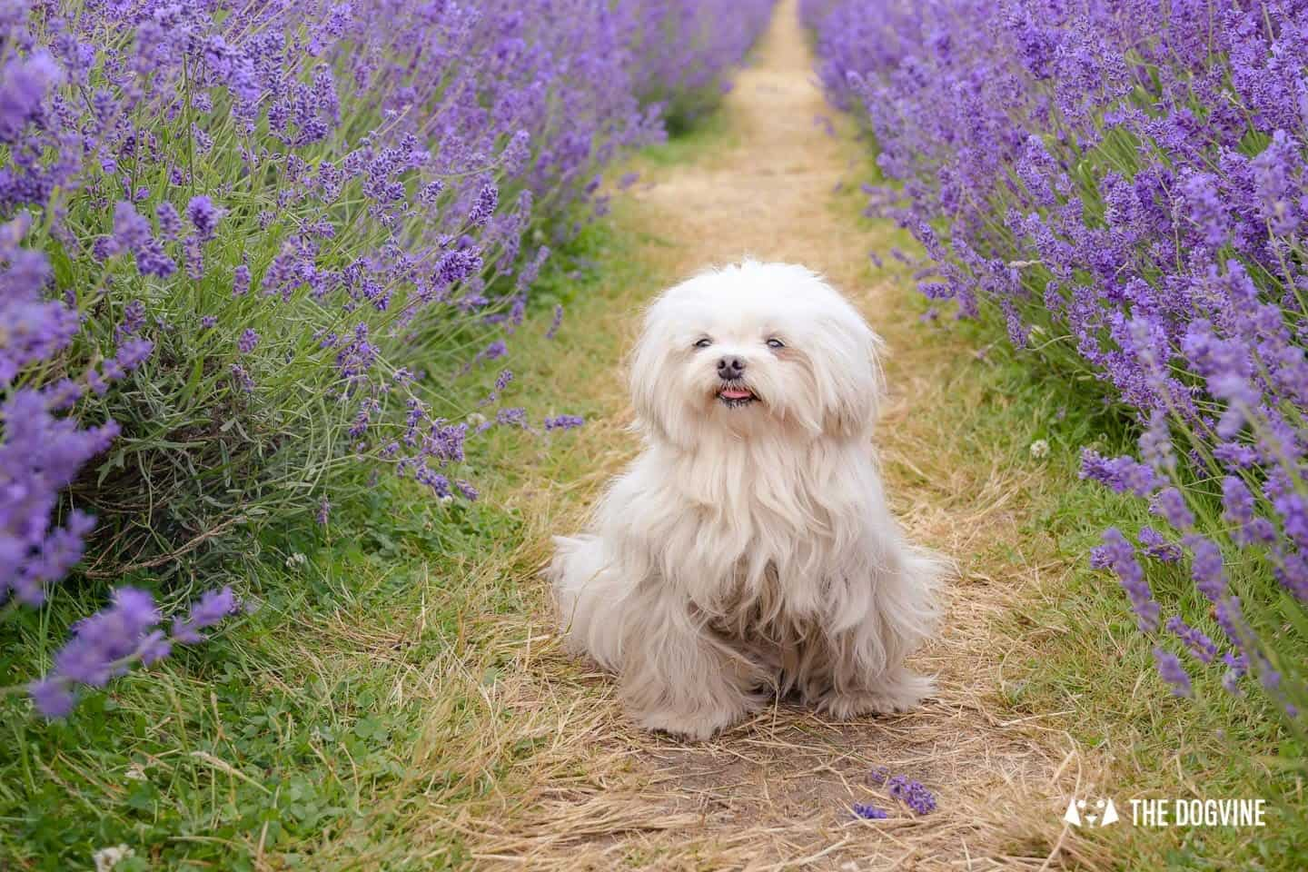 Lilliput the Maltese enjoying the dog-friendly Mayfield Lavender Farm