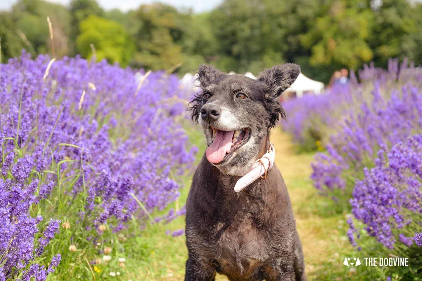 Mayfield Lavender Farm - Dogs enjoy the lavender too!