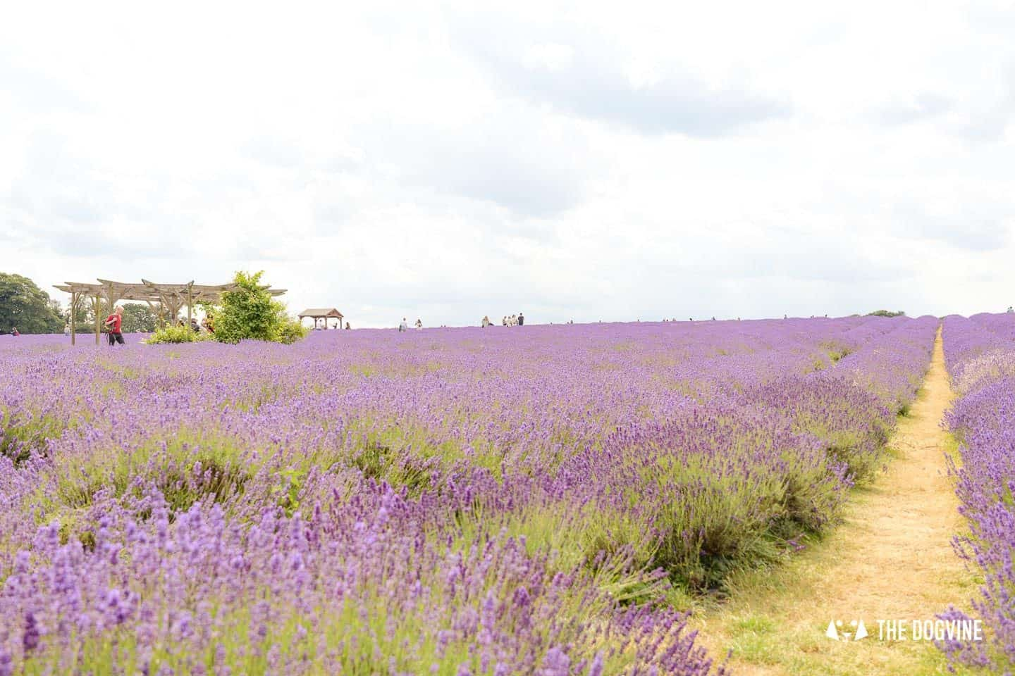 Dog-friendly Mayfield Lavender Farm - Lavender Fields