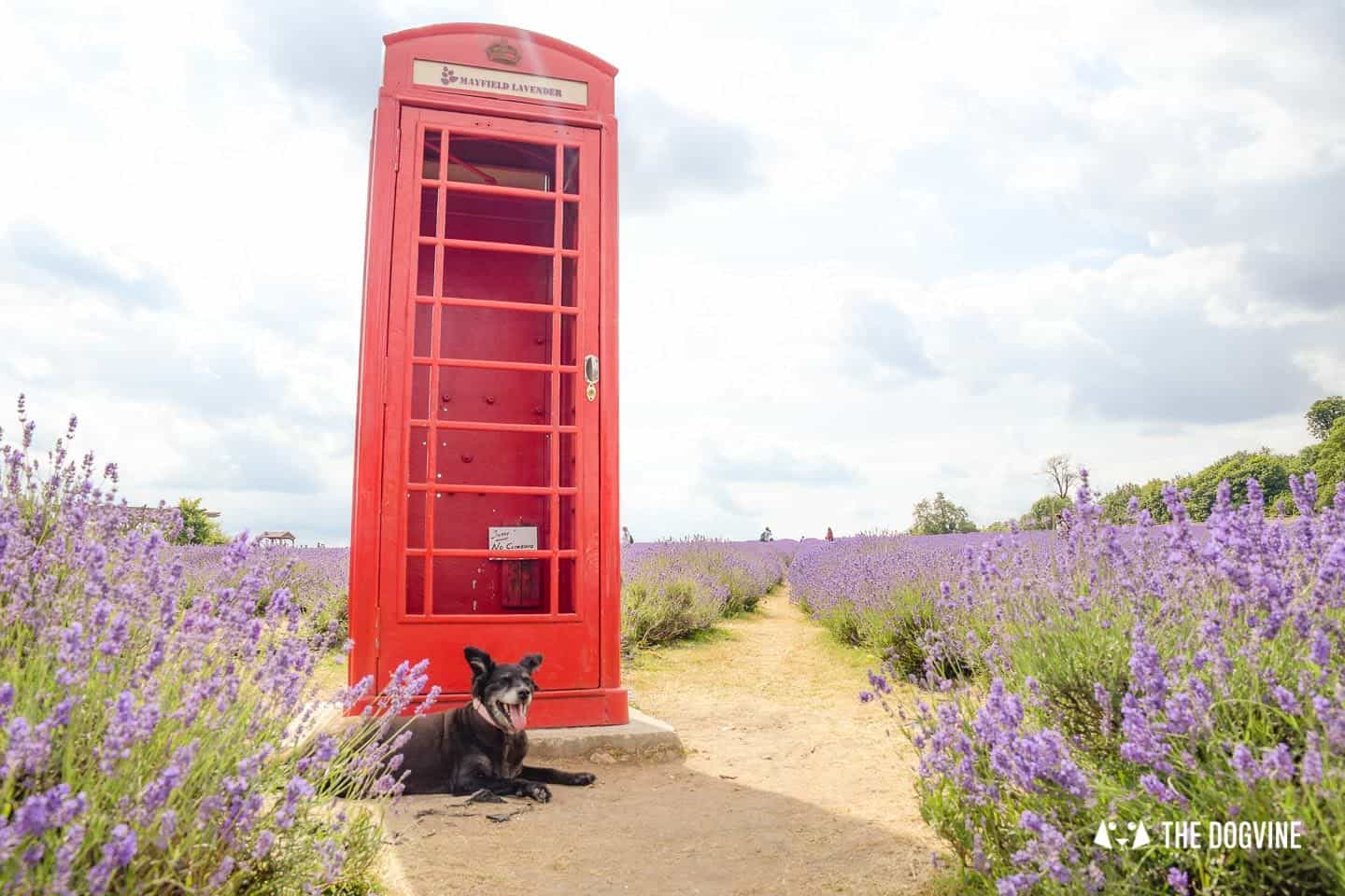 Dog-friendly Mayfield Lavender Farm - Belinha in front of the Phone Box
