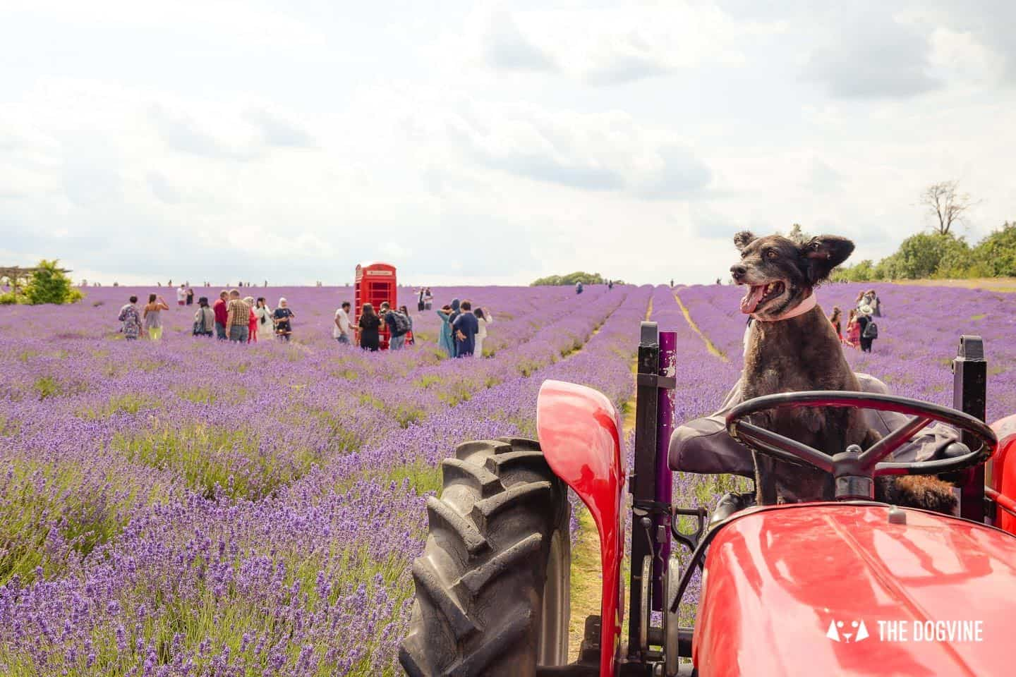 Dog-friendly Mayfield Lavender Farm - Belinha on the tractor