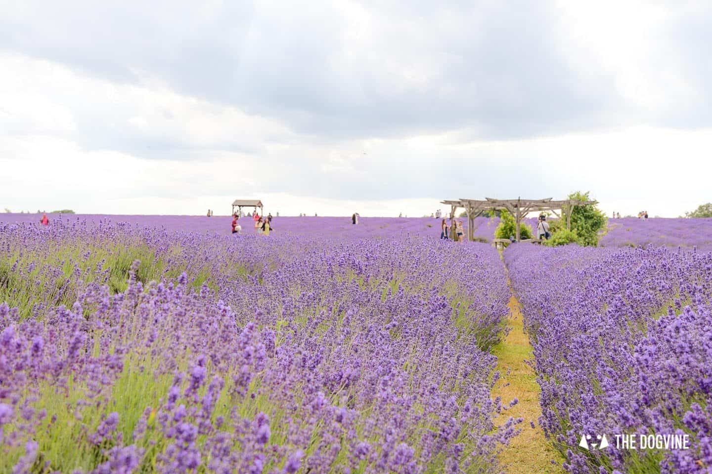 Dog-friendly Mayfield Lavender Farm - 47