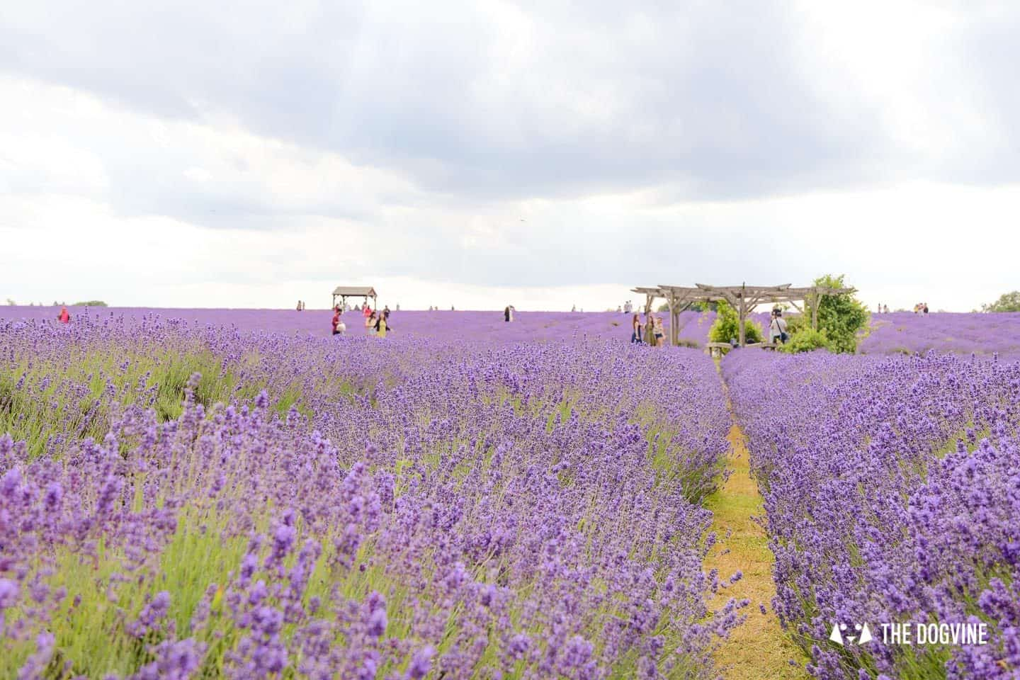 Mayfield Lavender Farm - People in the Lavender Field