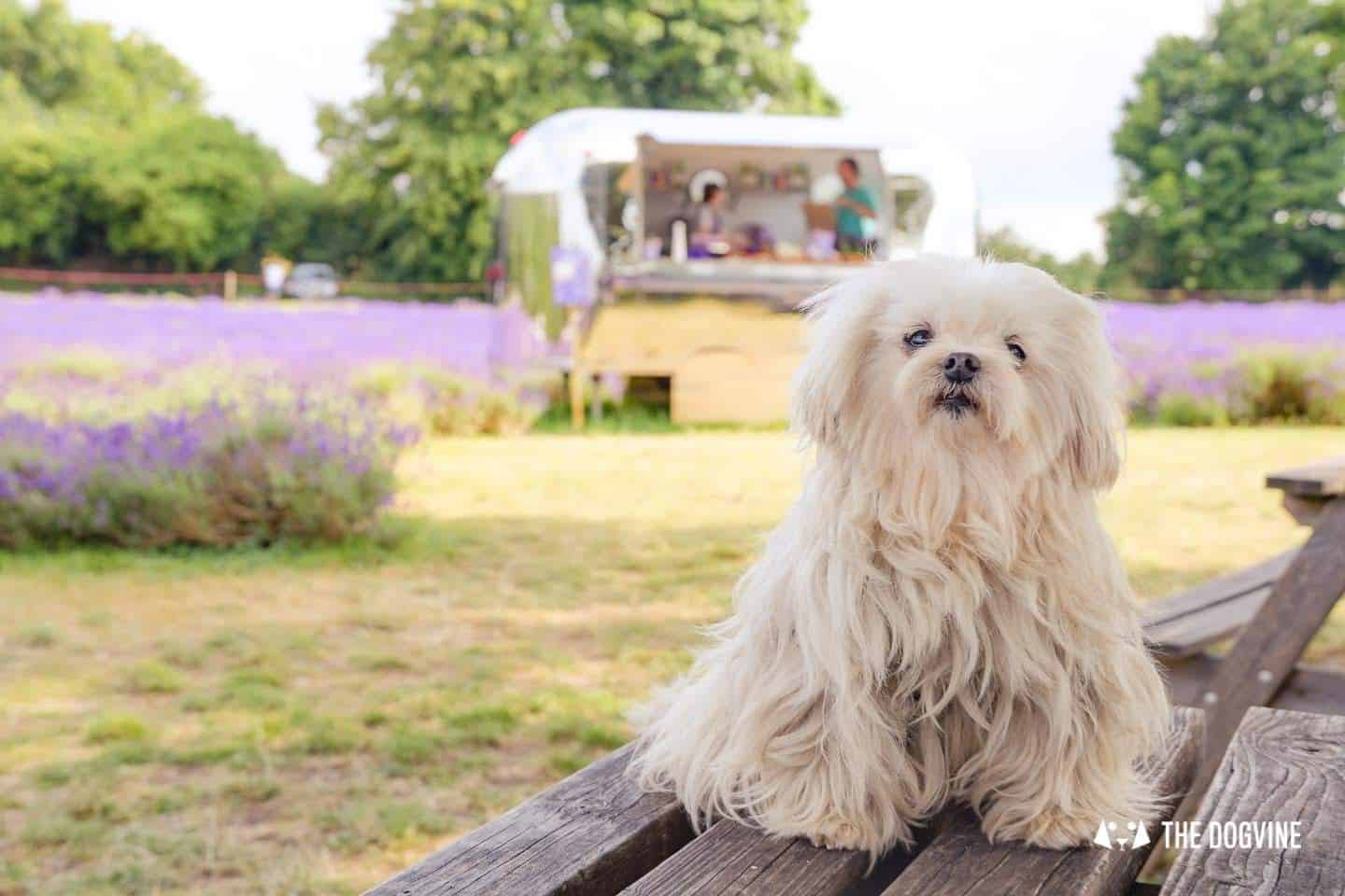 Lilliput the Maltese at the dog-friendly Mayfield Lavender Farm