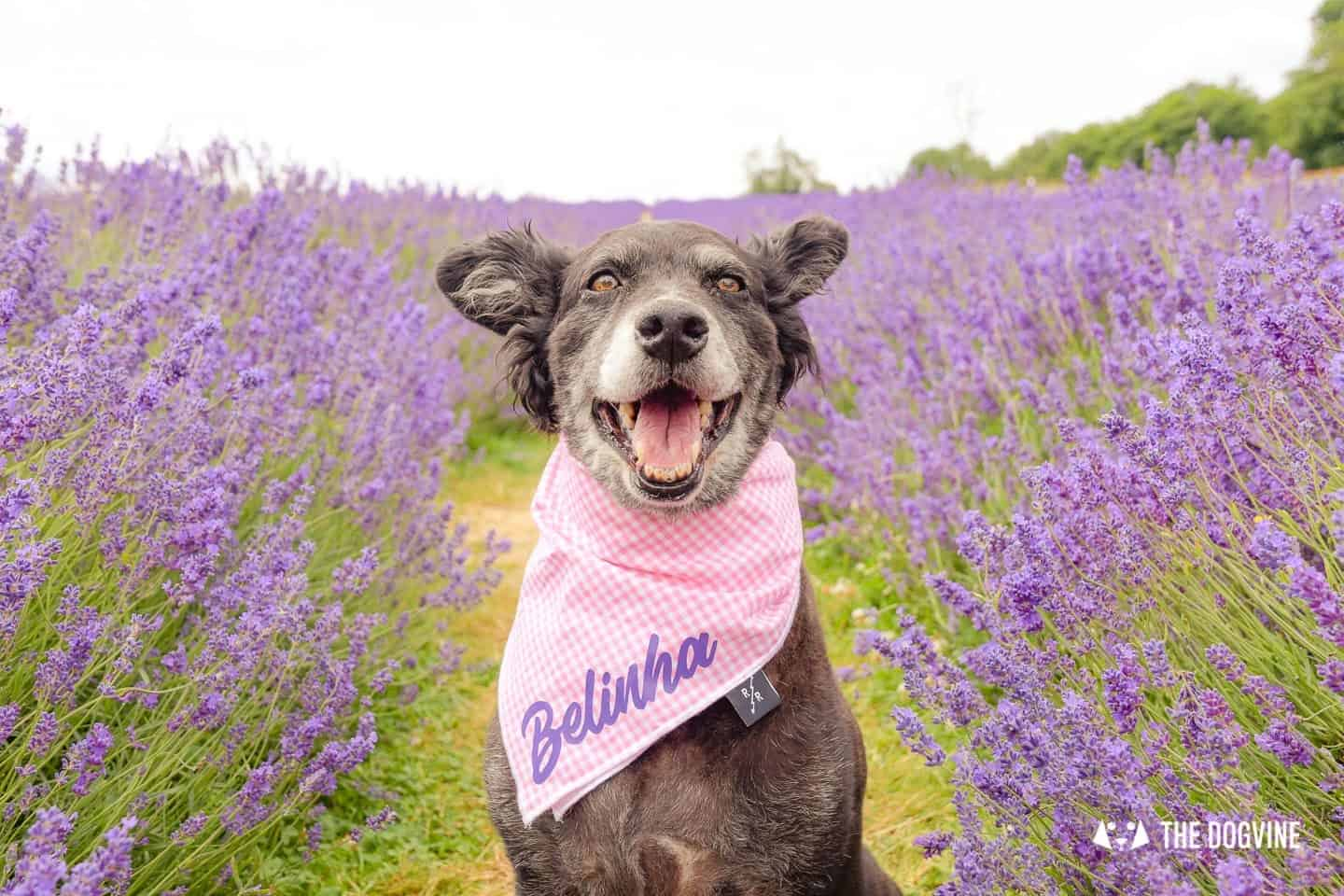 Belinha at Mayfield Lavender Farm
