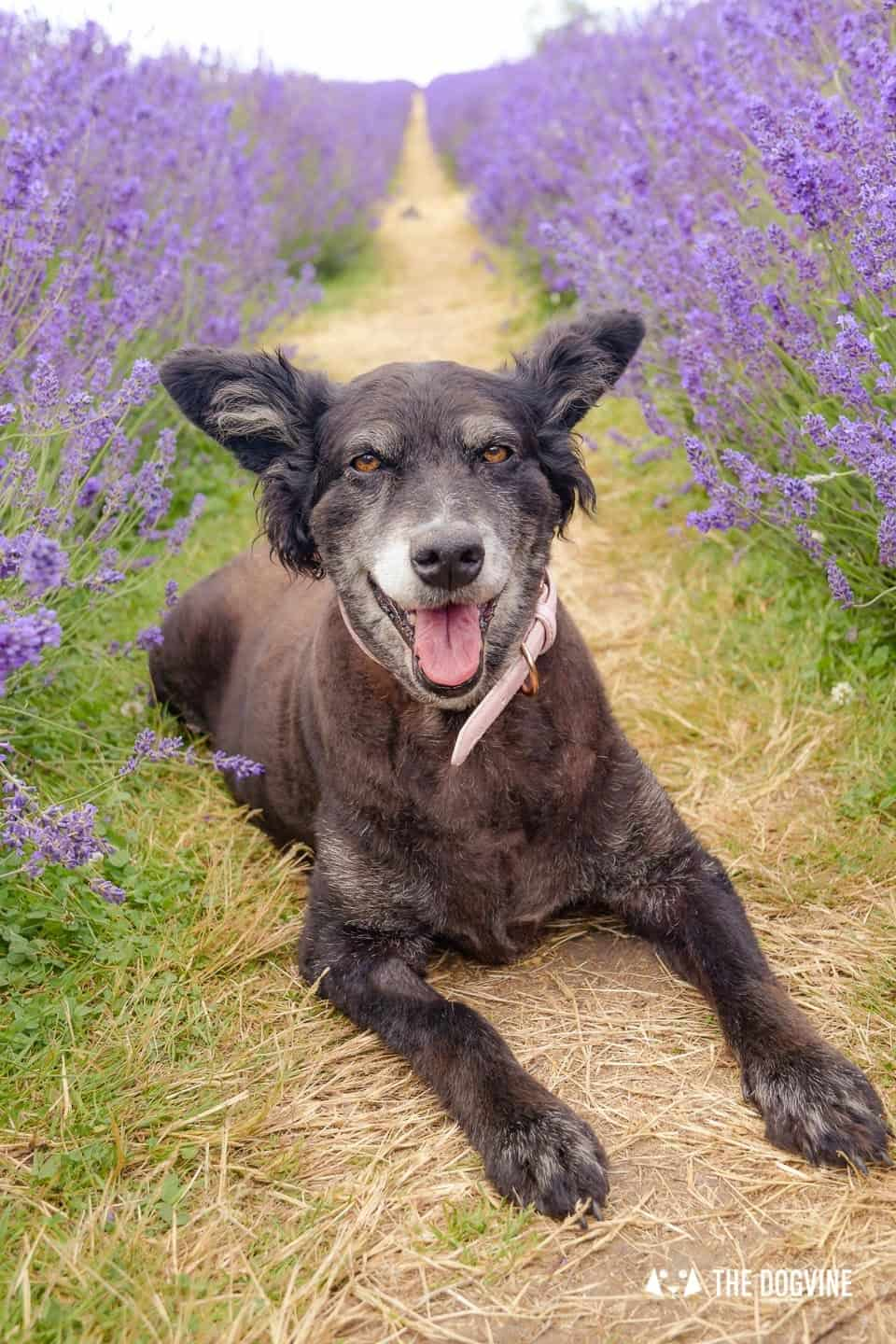 Belinha lying in the Lavender at the dog-friendly Mayfield Lavender Farm