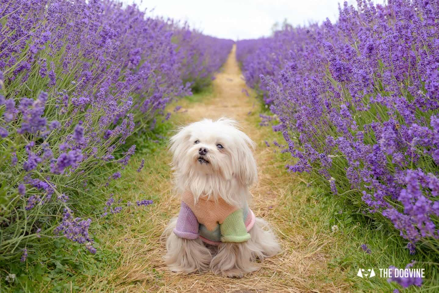 Dog-friendly Mayfield Lavender Farm - Lilliput the Maltese in the Lavender