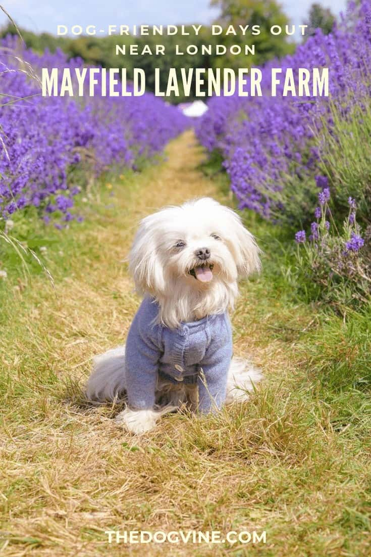 Dog-friendly Mayfield Lavender Farm Near London - Lilliput the Maltese