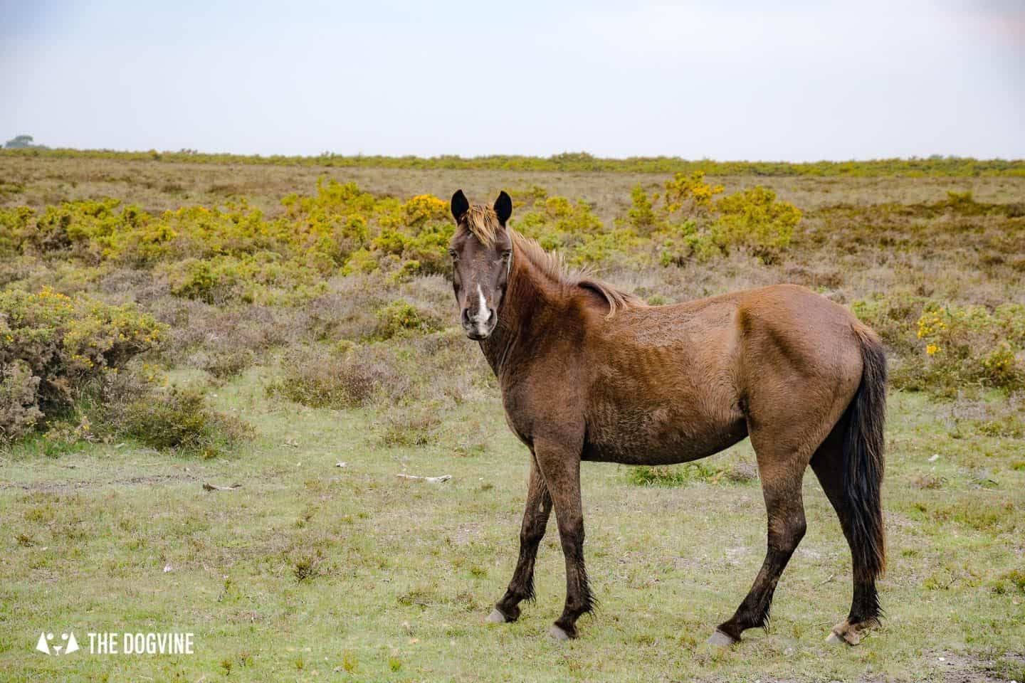 New Forest Pony just outside Lymington