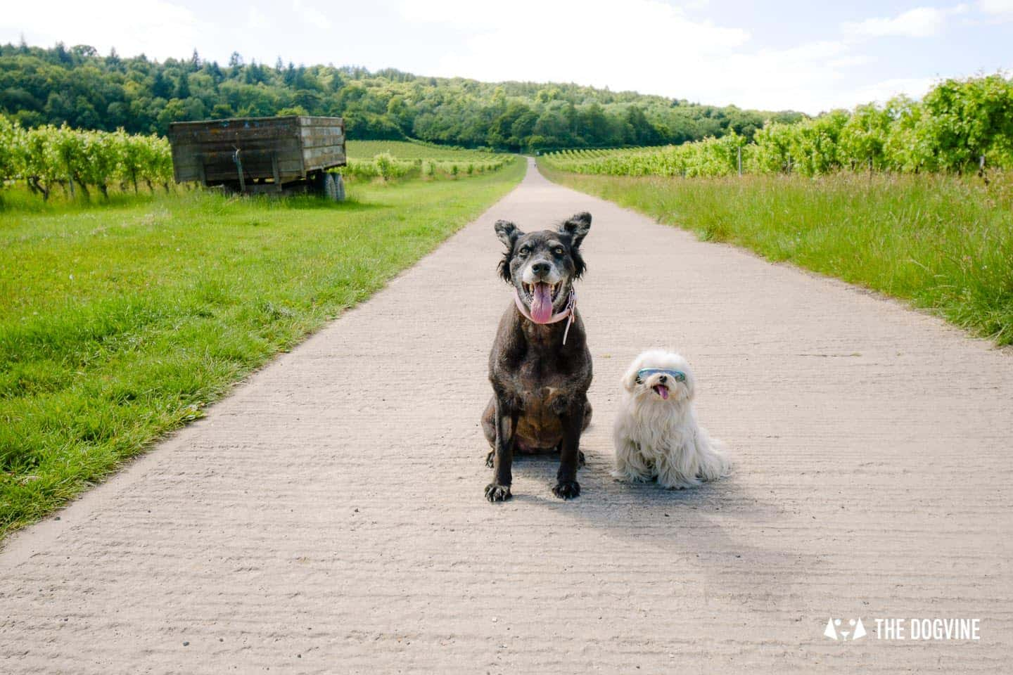 Denbies Dog-friendly Vineyard | A Delightful Day Out 12