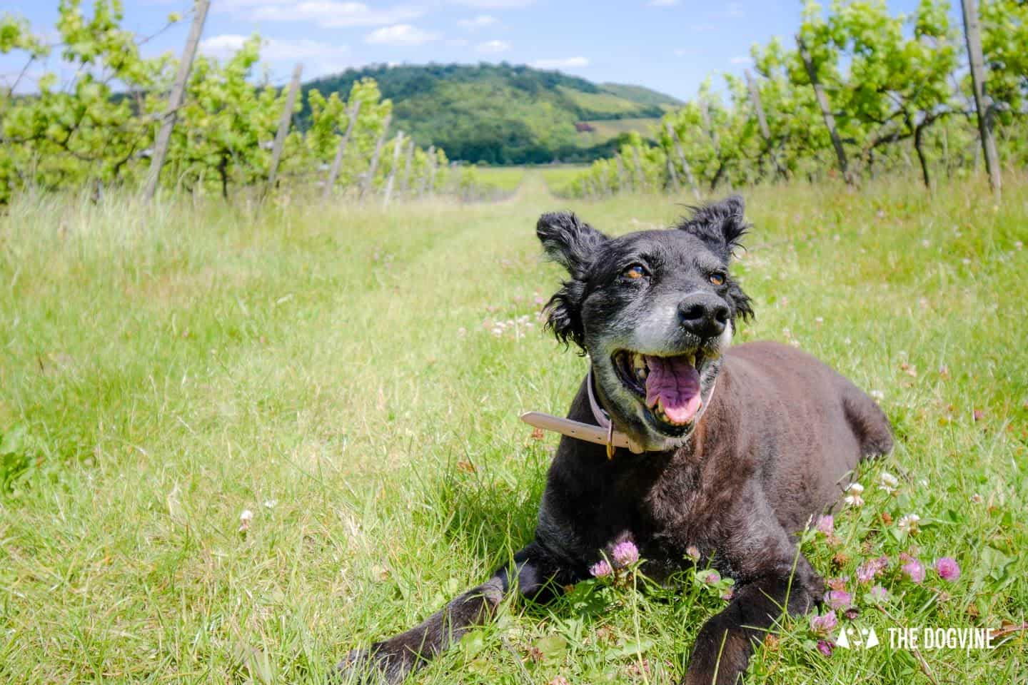 Denbies Dog-friendly Vineyard | A Delightful Day Out 3