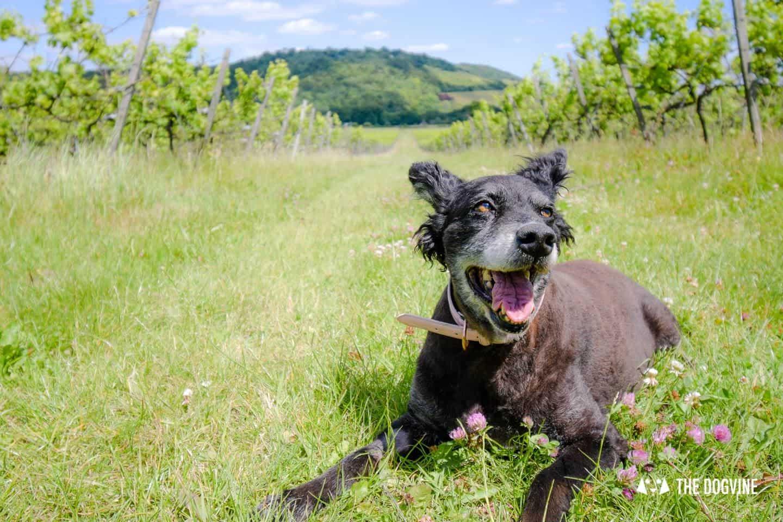 Denbies Dog-friendly Vineyard | A Delightful Day Out 3