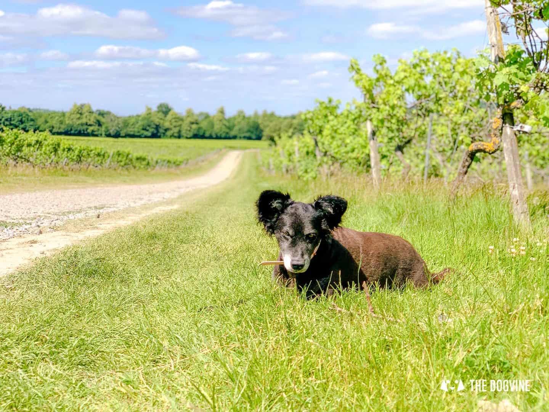 Denbies Dog-friendly Vineyard | A Delightful Day Out 30