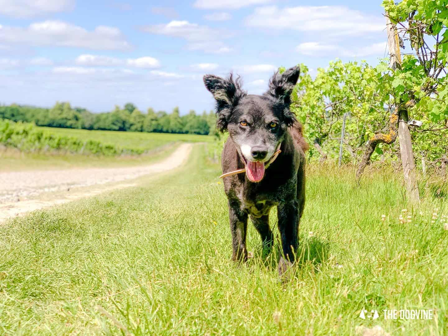 Denbies Dog-friendly Vineyard | A Delightful Day Out 31