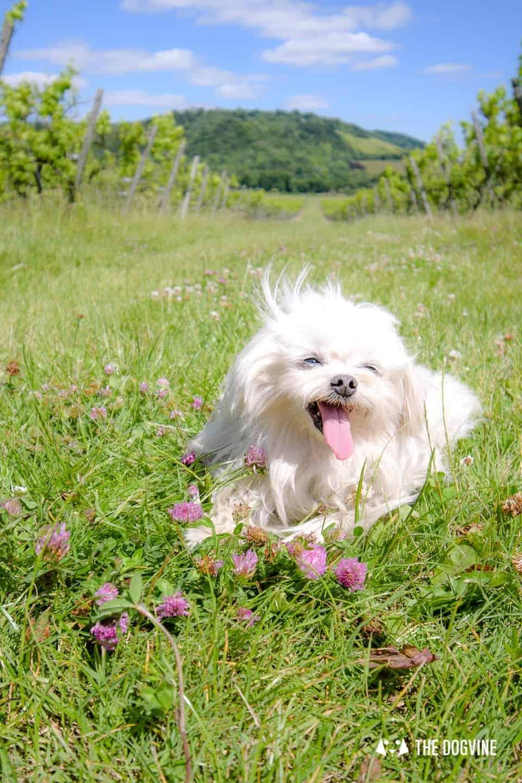 Denbies Dog-friendly Vineyard | A Delightful Day Out 4