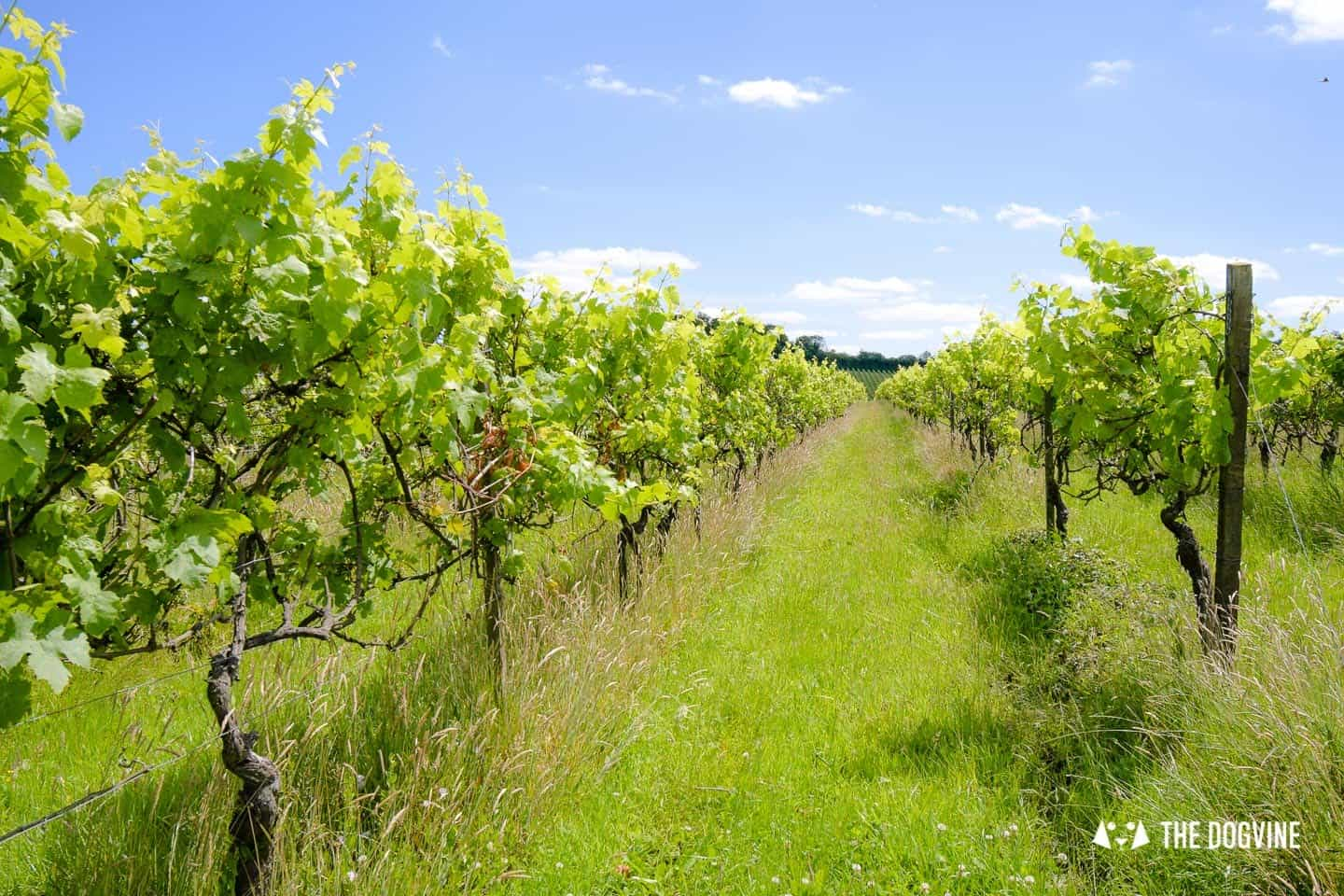 Denbies Dog-friendly Vineyard | The Vines