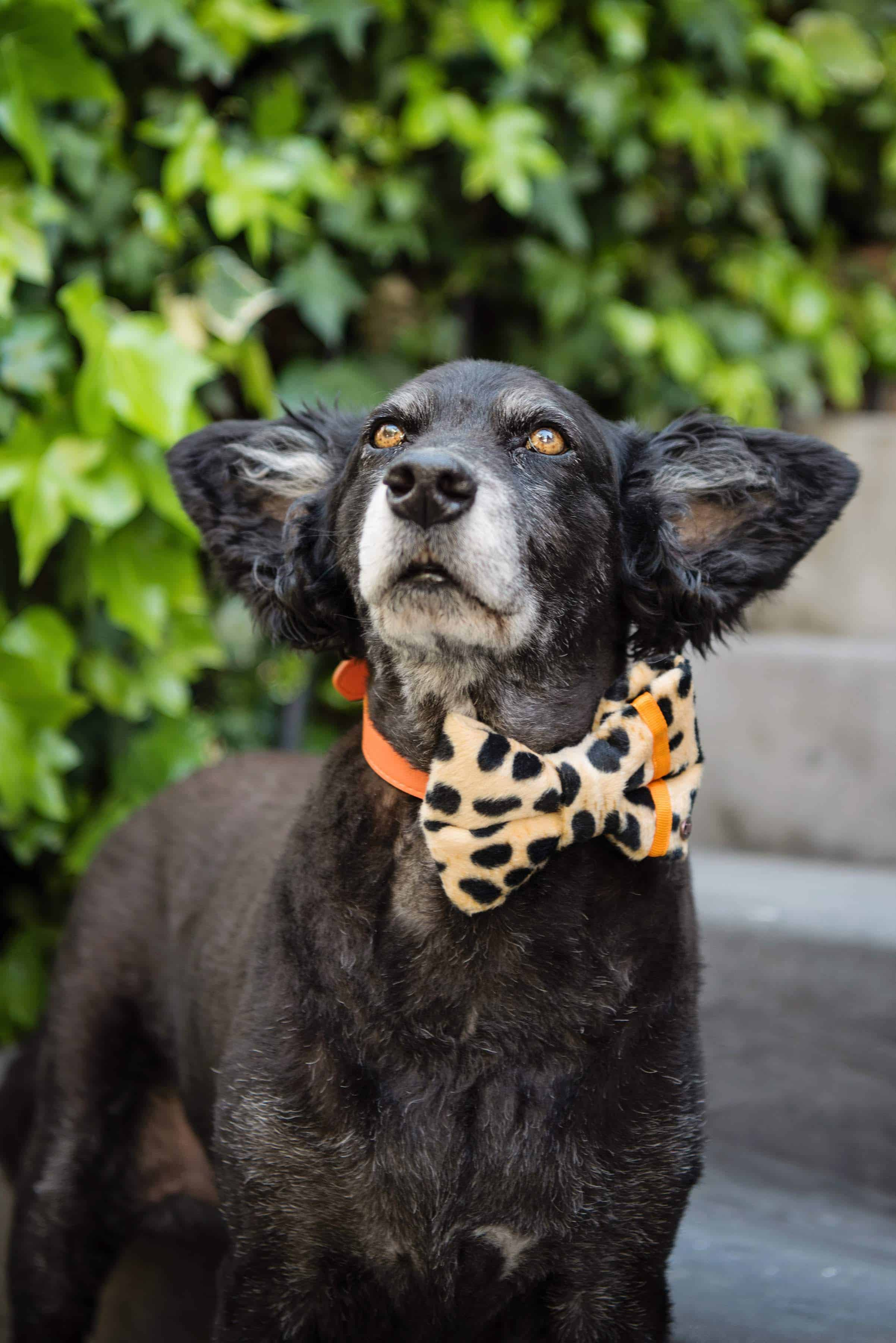Distinguished Dog Company Dog Bow Ties & Bandanas Review - The Dogvine 11