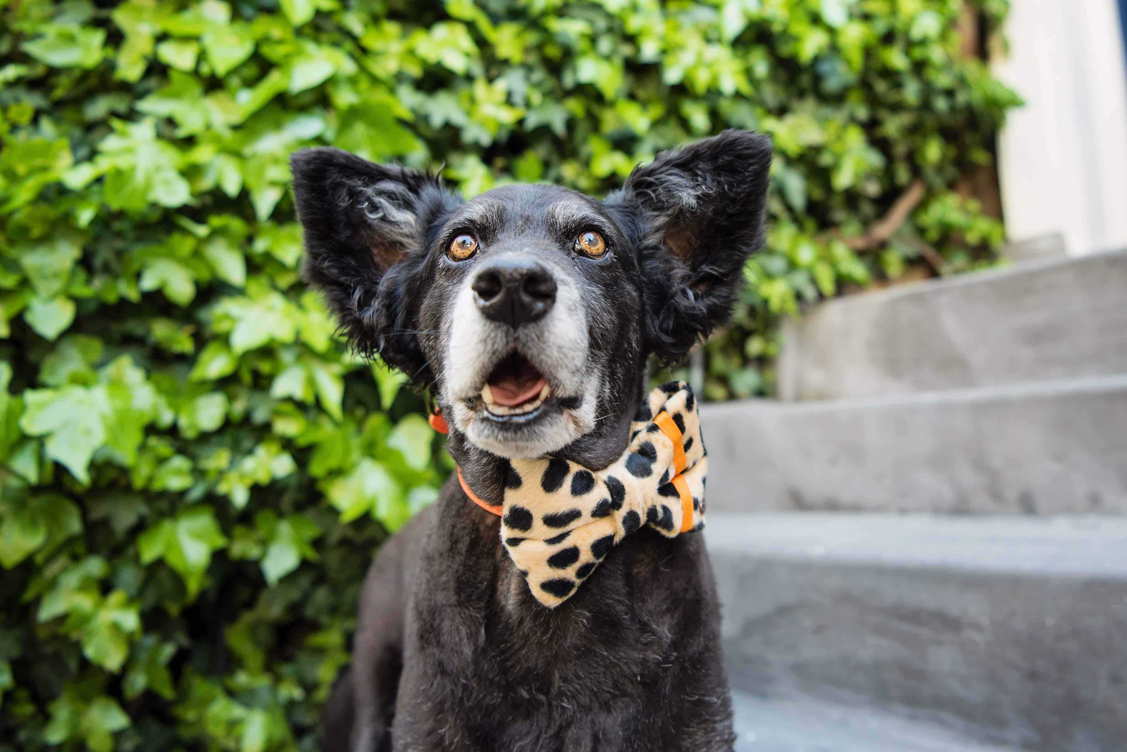 Distinguished Dog Company Dog Bow Ties & Bandanas Review - The Dogvine 12