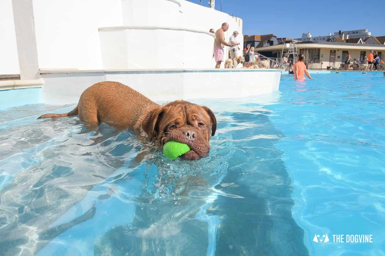 Doggy Fun At The Saltdean Lido Dog Swim